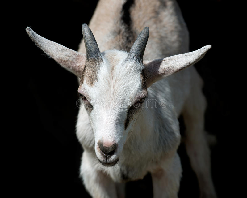 Young milk goat royalty free stock photo