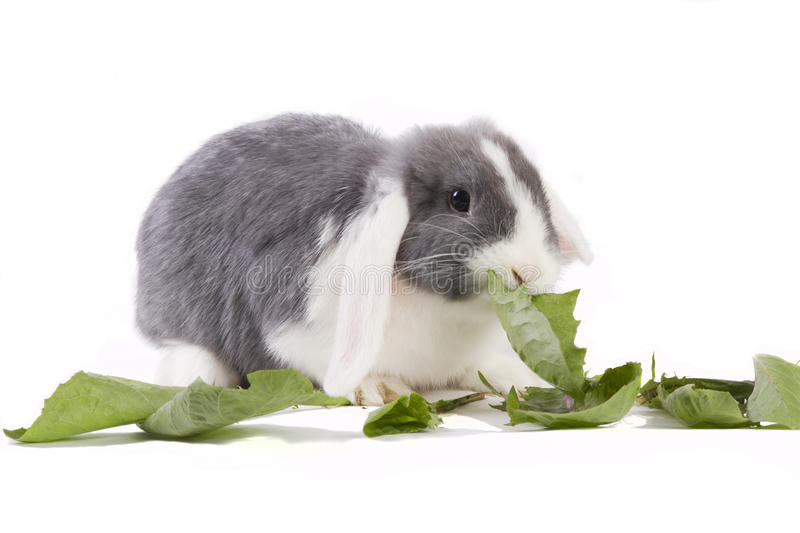 Young mini-lop rabbit eating leaves royalty free stock photography