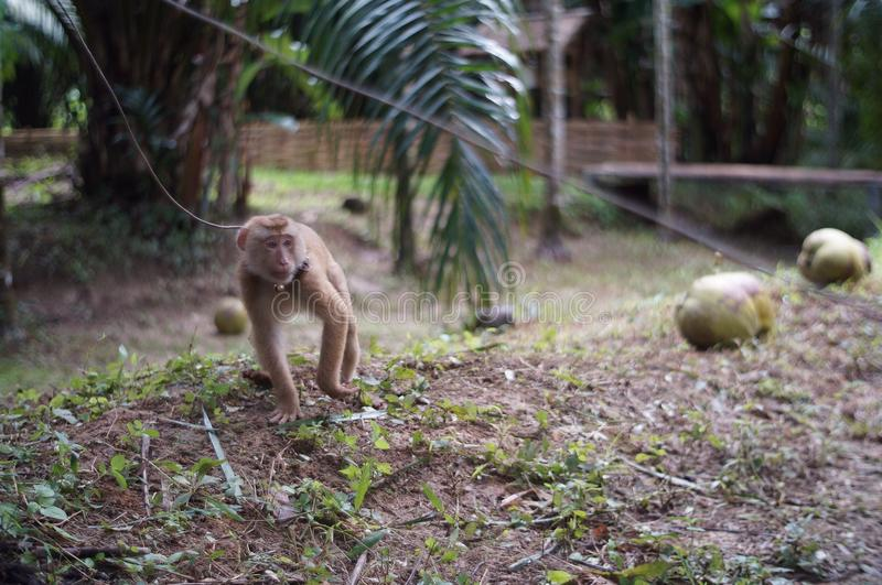 young mischievous monkey royalty free stock images