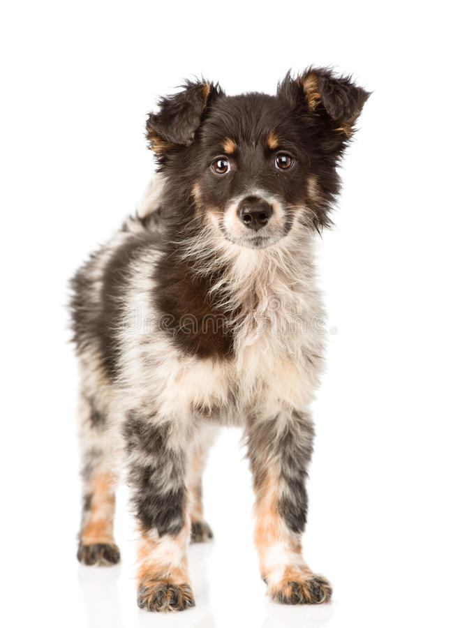 Young mixed breed dog in full height. isolated on white background.  royalty free stock photos