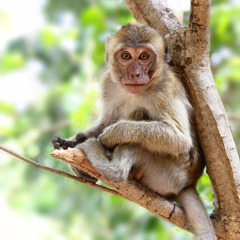Young monkey royalty free stock photos