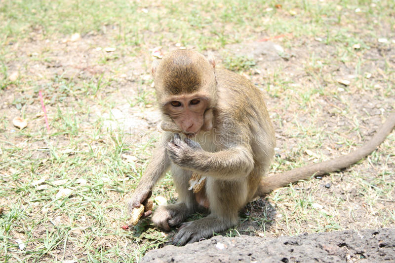 Young monkey. Eats a nut stock photography