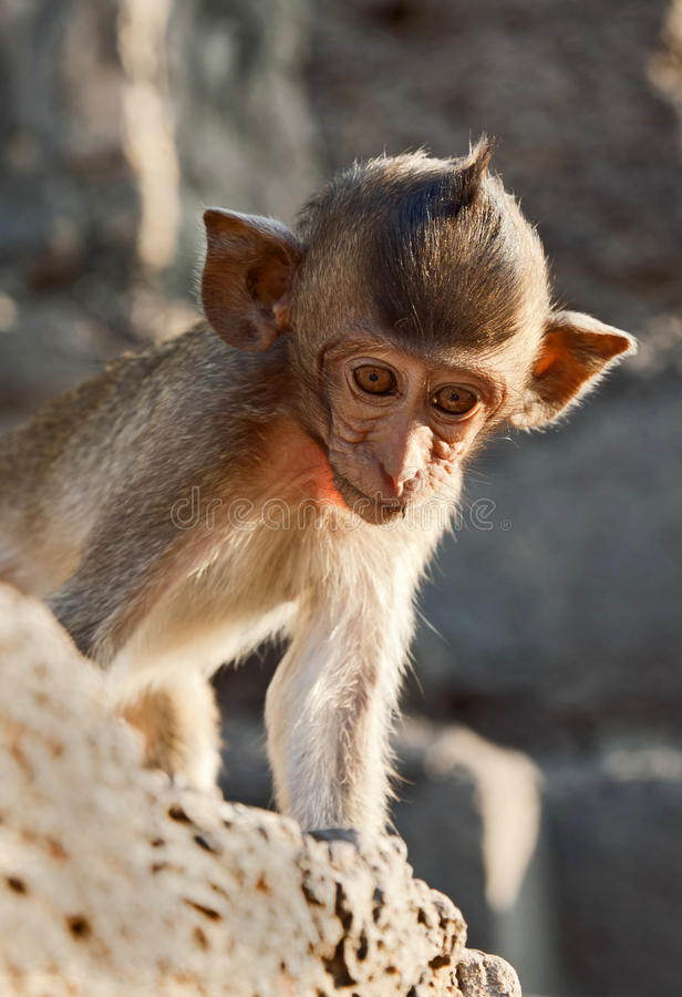 Download Young Monkey Looking Down stock photo. Image of eyes - 24153080