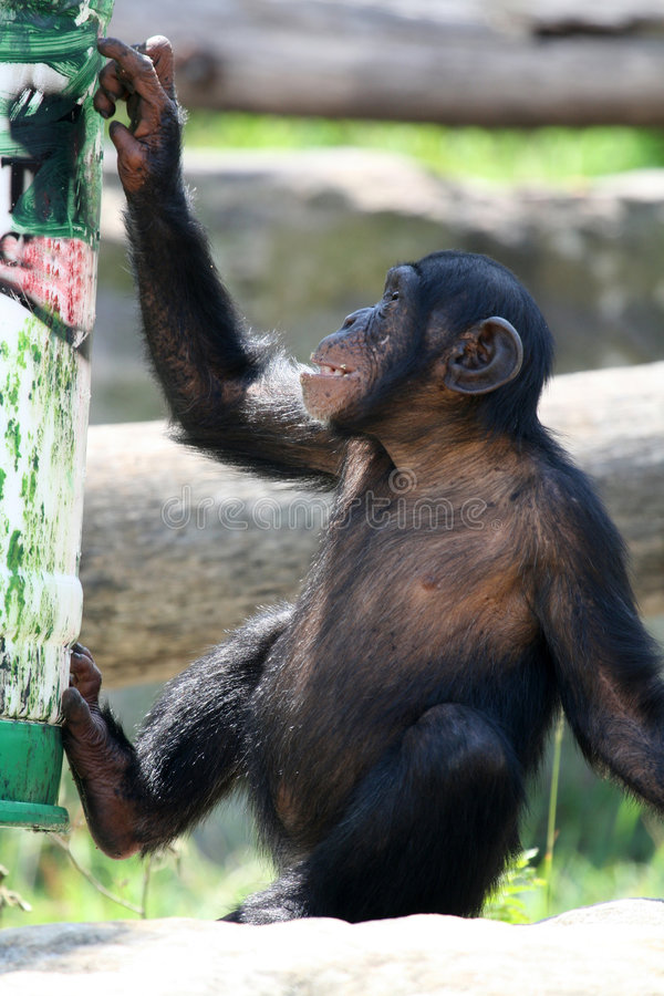 Download Young monkey playing stock image. Image of fingers, mammal - 2195429
