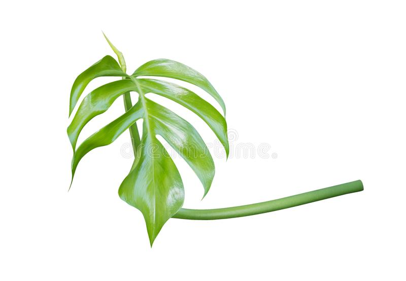 Young Monstera plant leaf, the tropical evergreen vine isolated on white background, path royalty free stock photography