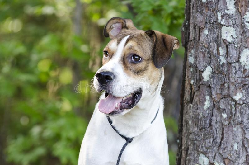 White and tan mixed breed puppy dog, animal shelter pet adoption photo. Young 10-month old unneutered male tri-colored pup dog outside with black leash, happy royalty free stock photo