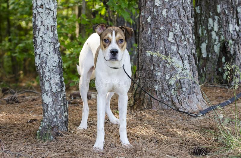 White and tan mixed breed puppy dog, animal shelter pet adoption photo. Young 10-month old unneutered male tri-colored pup dog outside with black leash. Outdoor royalty free stock image