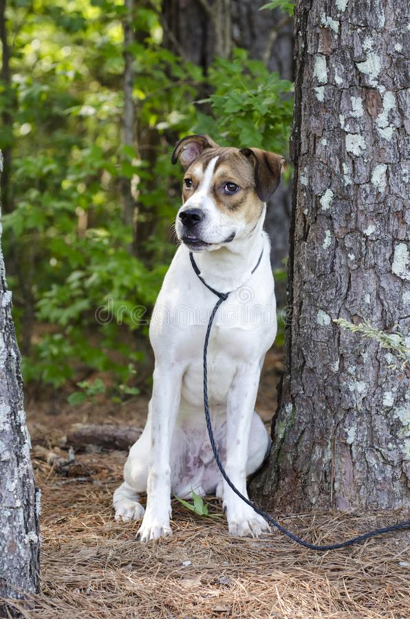 White and tan mixed breed puppy dog sitting, animal shelter pet adoption photo. Young 10-month old unneutered male tri-colored pup dog outside with black leash stock photo