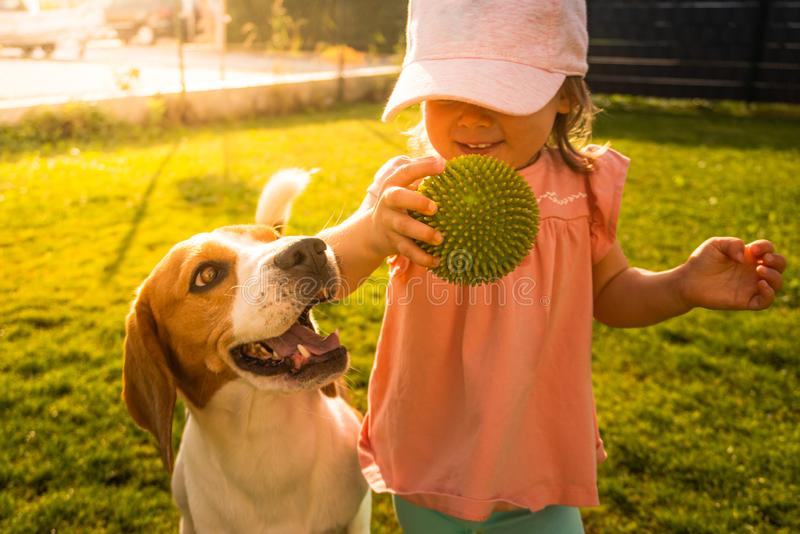 Young 12-18 months caucasian baby girl playing with beagle dog in garden stock images