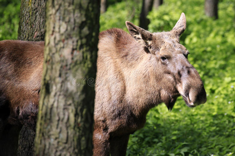 Young cow moose / elk in forrest in the sun. Portrait of a young cow moose / Alces alces with fresh growing antlers standing in a forest in spring stock photo