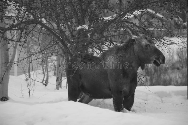 Town Moose In Winter stock image
