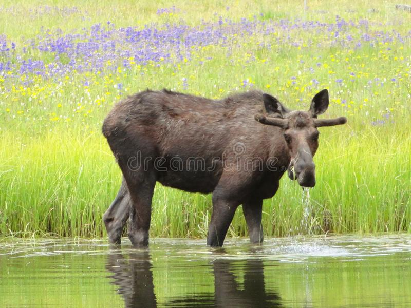 Young Moose with Wild Flowers near McCall, Idaho stock image