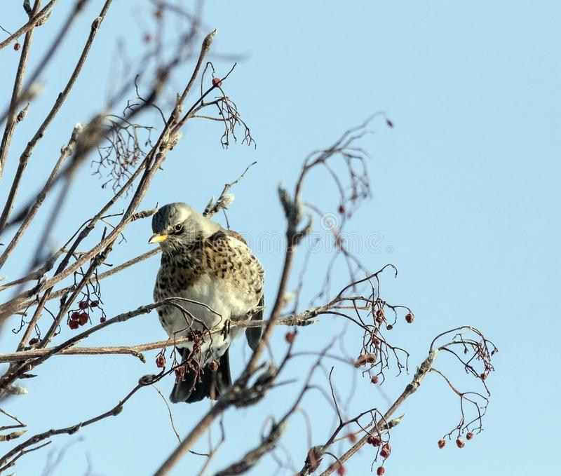 Young mountain ash thrush. Fieldfare thrush sitting on a branch of Rowan stock photo