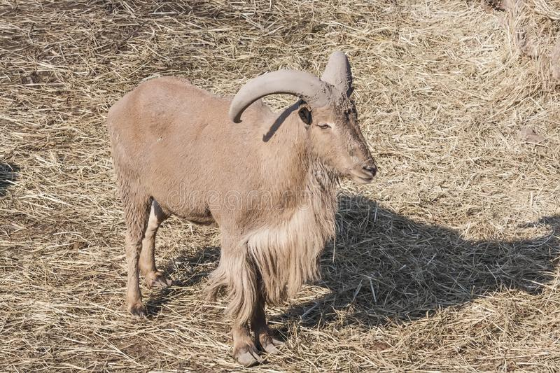 Young grey Mountain goat at the city zoo stock photo