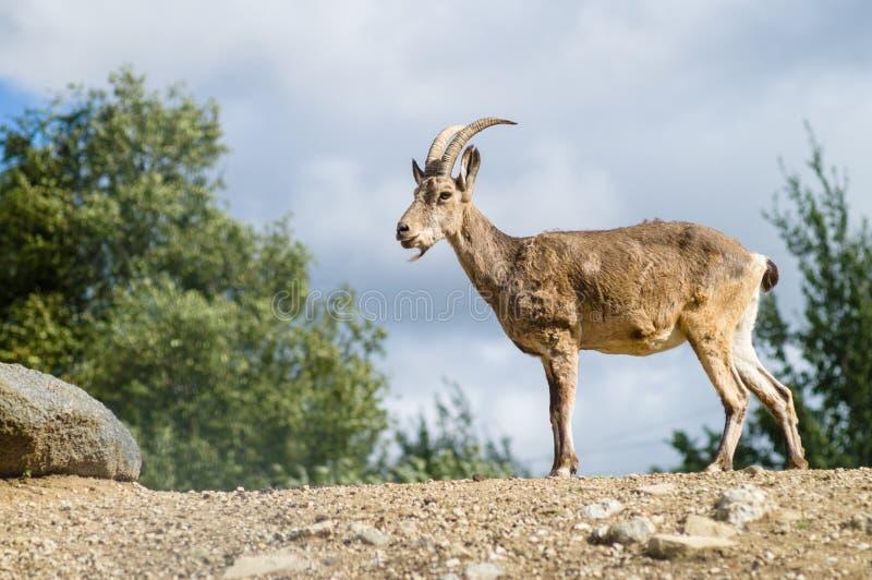 Young mountain goat or West Caucasian tur (Capra caucasica) stock photo