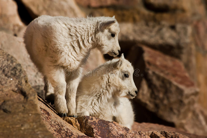 Young Mountain Goats Stock Image