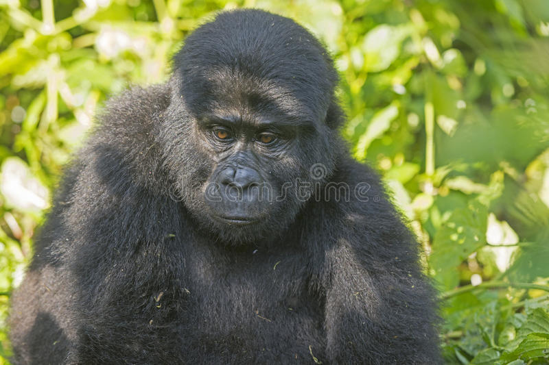 Young Mountain Gorilla in the Forest. Young Mountain Gorilla in the Bwindi Impenetrable Forest royalty free stock image