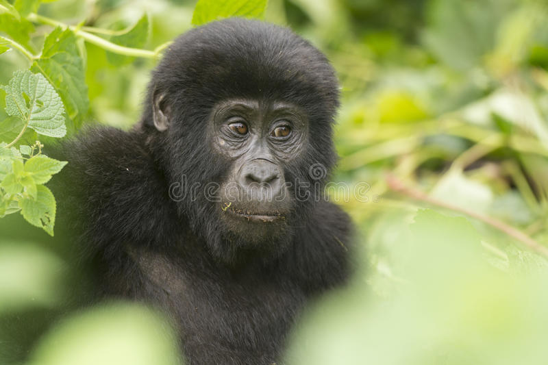 Young Mountain Gorilla in the Forest. Young Mountain Gorilla in the Bwinidi Impenetrable Forest stock images
