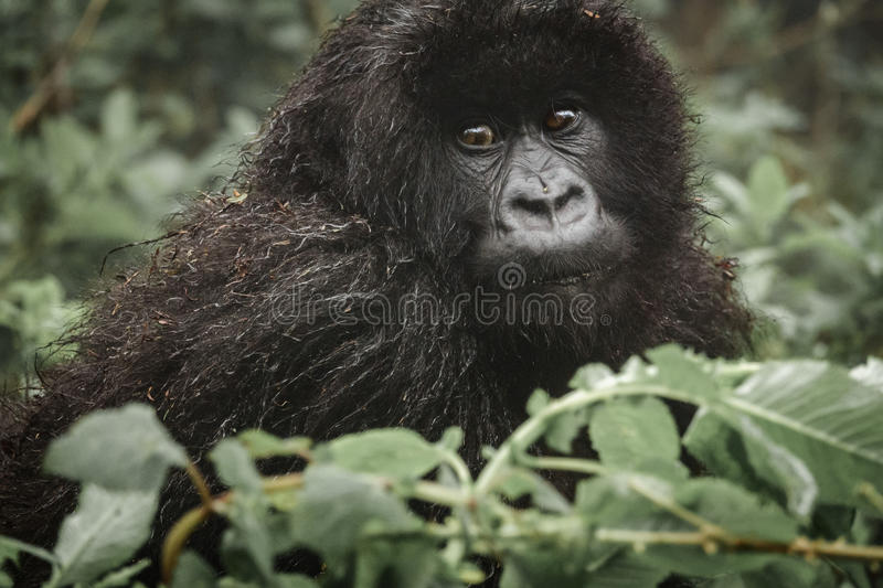 Young mountain gorilla in the forest. Front view closeup of young mountain gorilla in the wilderness of the forest stock image