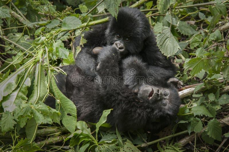 Young mountain gorilla having fun royalty free stock photography