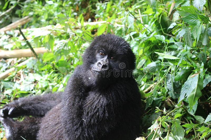 A young mountain gorilla. Spotted in the volcanoes national park in Rwanda royalty free stock image
