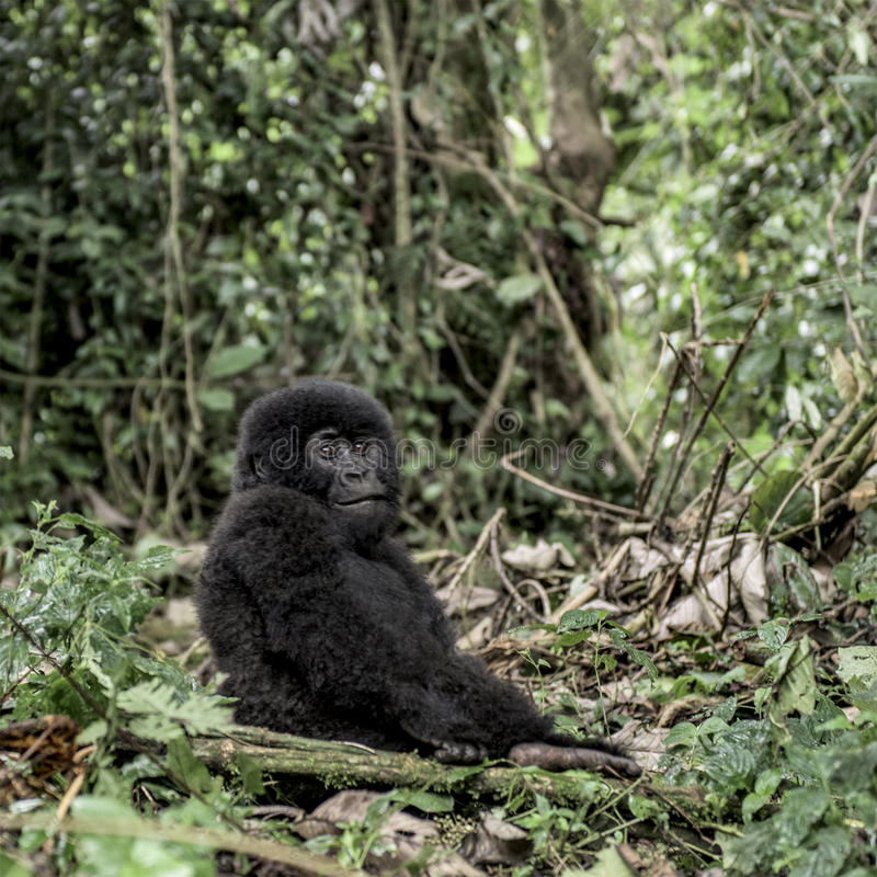 Young mountain gorilla in the Virunga National Park, Africa. DRC royalty free stock images
