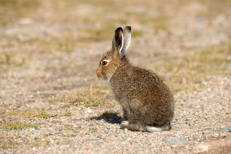 Young Mountain Hare Lepus Timidus Basking In The Rays Of The Autumn Sun. Tundra Hare Or White Hare In Summer Pelage In The Nat royalty free stock photos