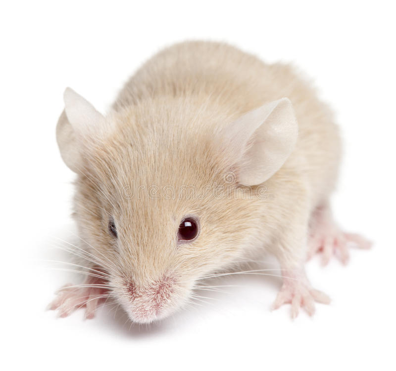 Young mouse stock photography