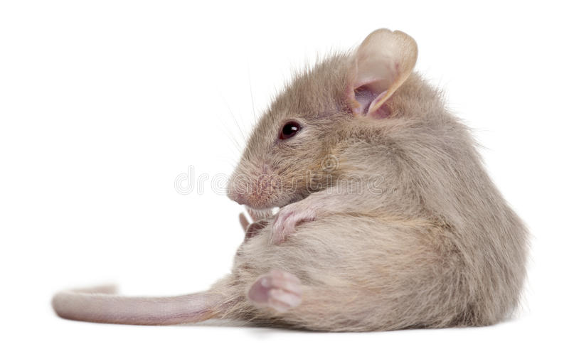 Young mouse royalty free stock image