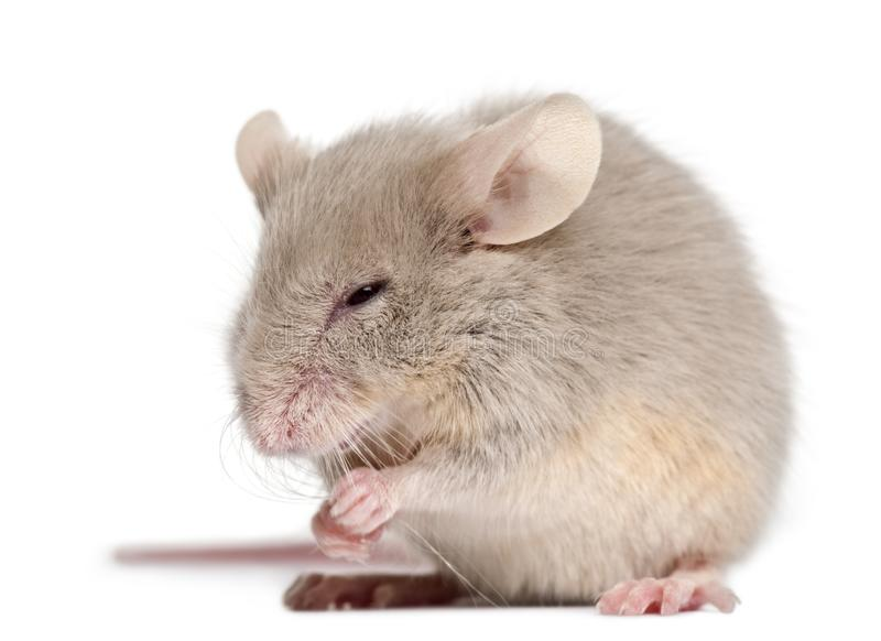Young mouse in front of white background stock image