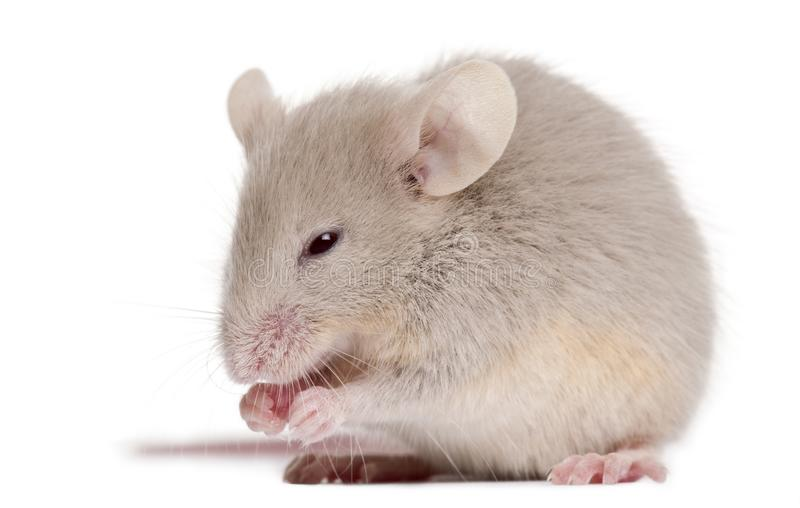 Young mouse in front of white background royalty free stock image