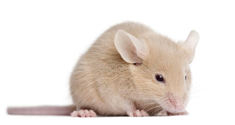 Young mouse in front of white background stock images