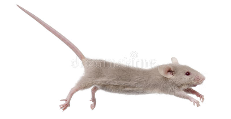 Young mouse jumping royalty free stock images