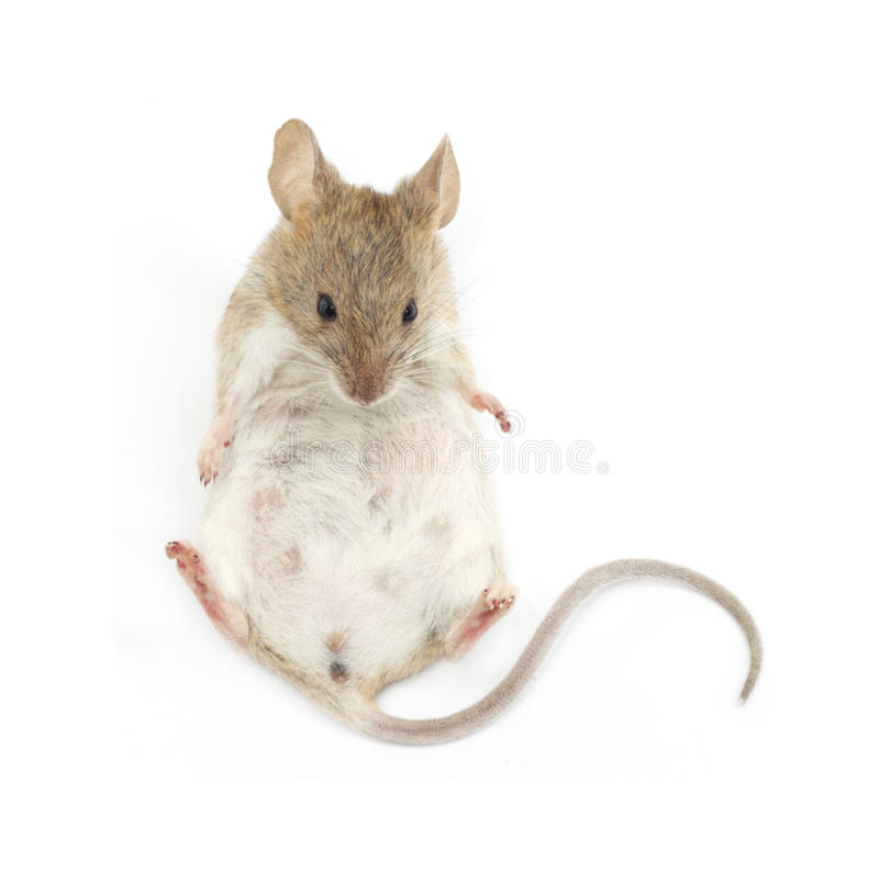 Young mouse sitting stock photography