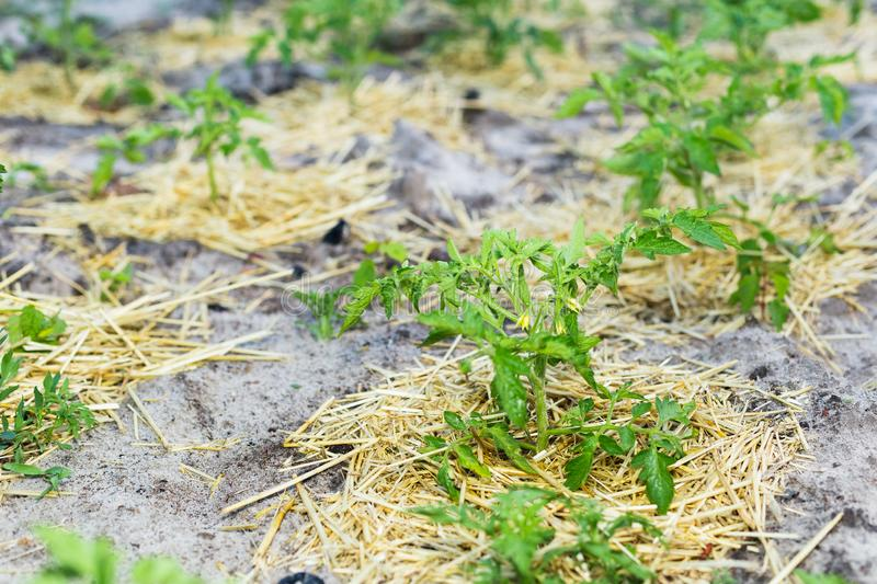 Young mulched tomatoes on the garden in sandy soil.  royalty free stock photo