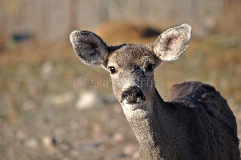 Young Mule Deer Doe Looks hesitantly into the camera stock images