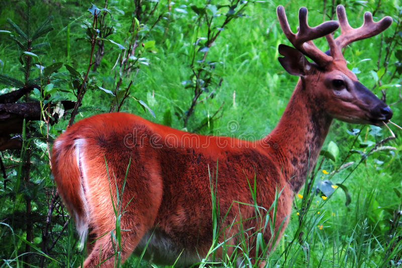 Young Mule Deer royalty free stock photography