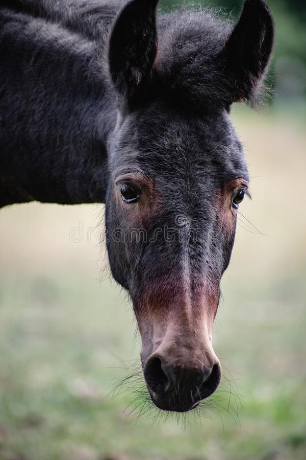 Young mule female portrait royalty free stock photography