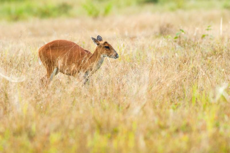 Young Muntjac in the grassland and cobweb. royalty free stock photo