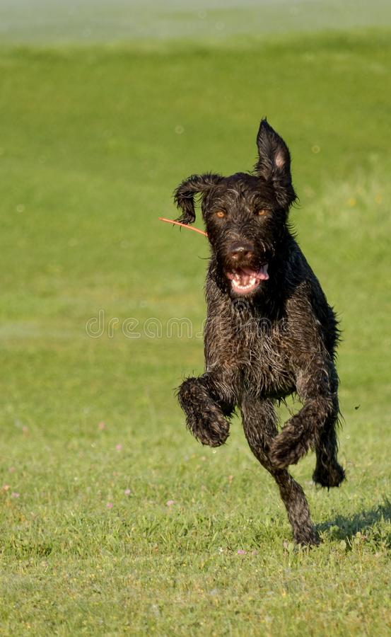 A young muscular brown hunting dog is running in the field among the green grass. A summer warm day. German Longhaired. Pointer stock images