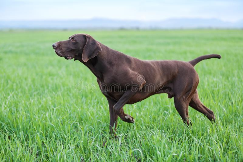 A young muscular brown hunting dog is standing in a point in the field among the green grass. A spring warm day. German Shorthaired Pointer royalty free stock photo