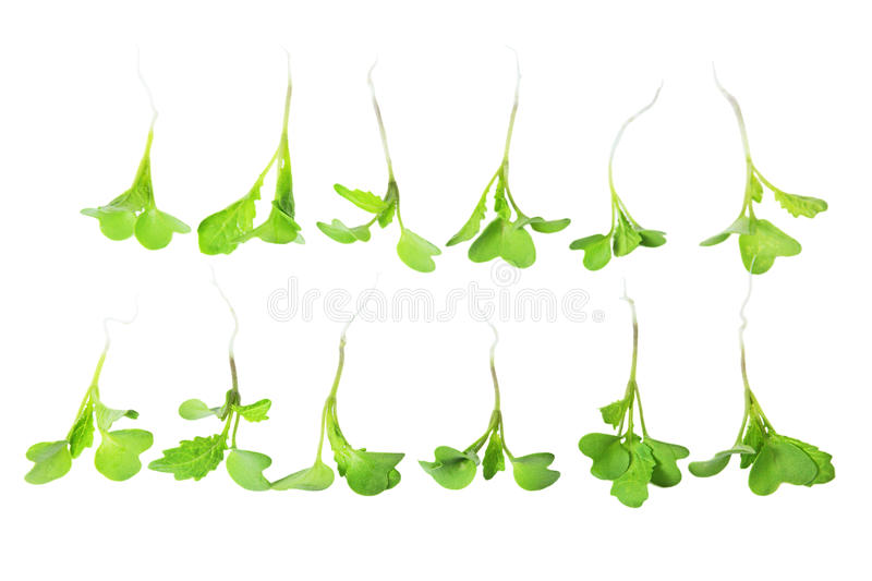 Young Mustard Green stock image