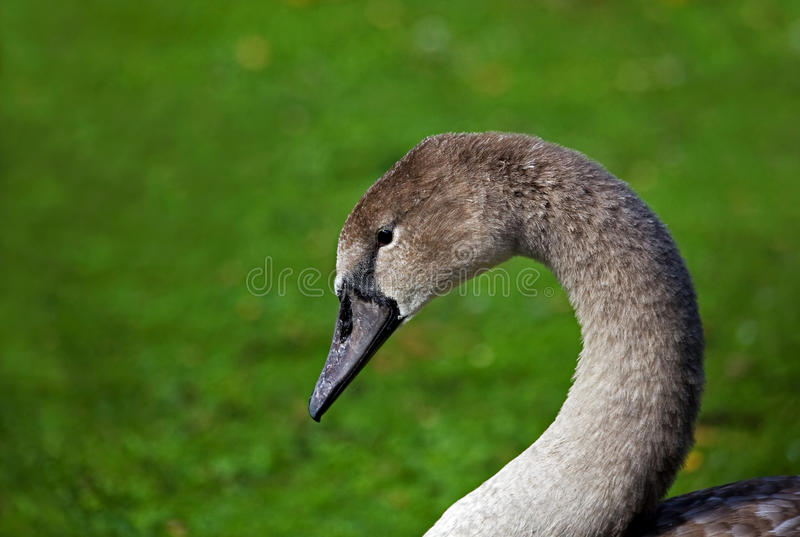 Young Mute Swan Cygnet head shot royalty free stock photography