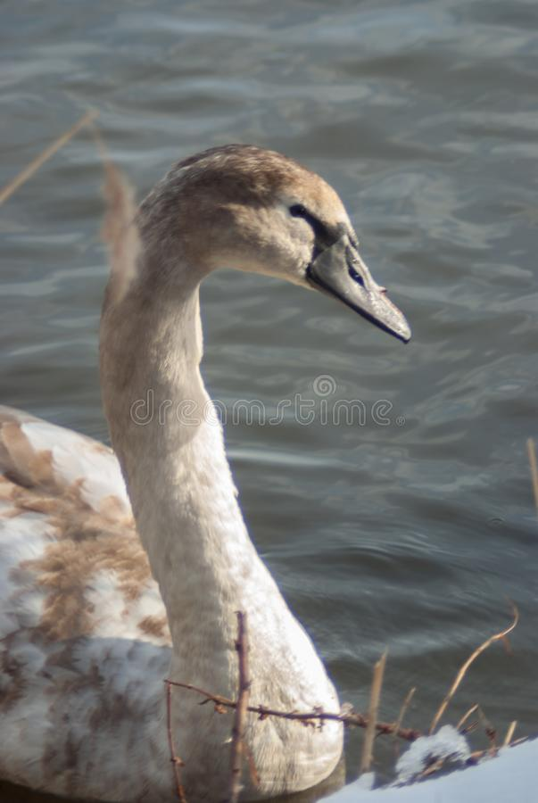 Young mute swan in juvenile plumage, at the shore of the lake. S. Ide view on the icy waters of Gaasperplas lake in winter time. Amsterdam Southeast, the stock photos