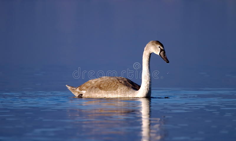 Young mute swan on water stock photo