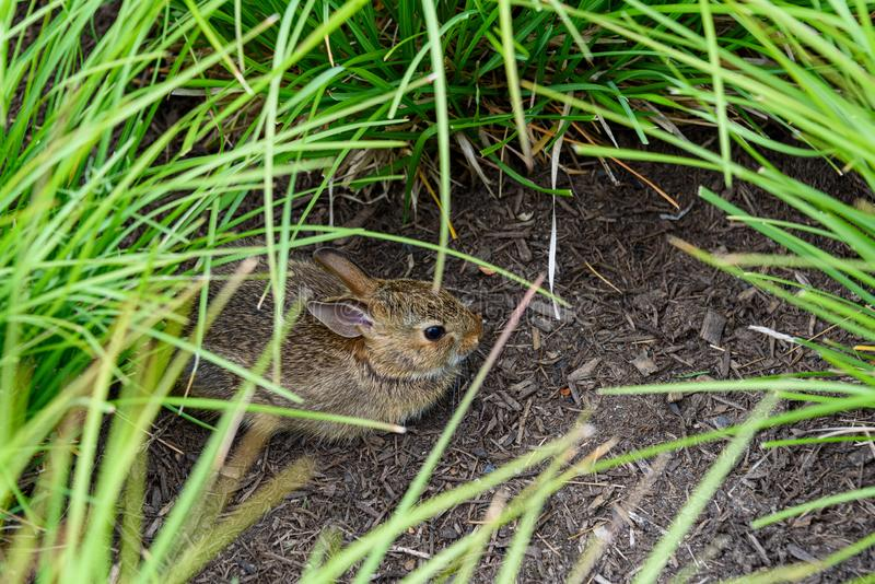 Young native rabbit hiding in ornamental grasses in a garden, Washington State, USA royalty free stock photo