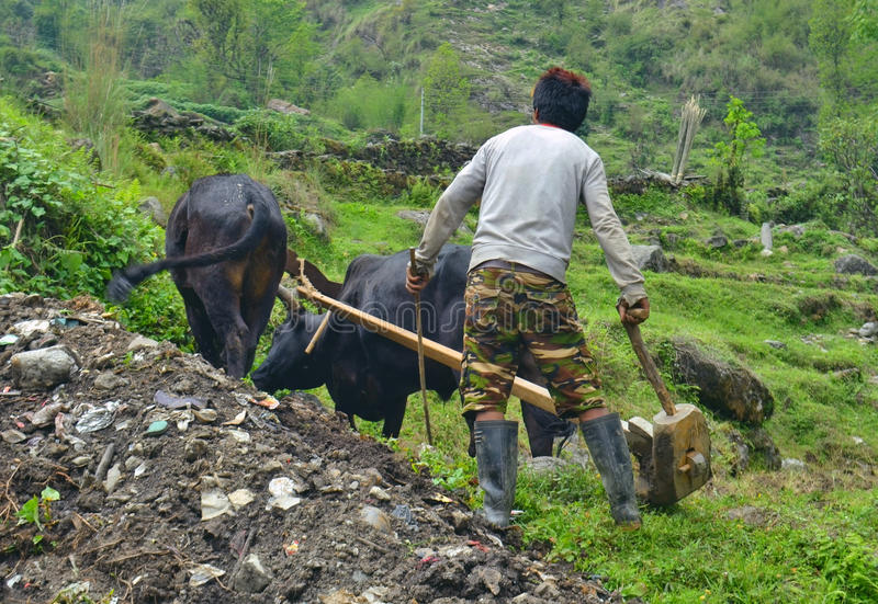Young Nepalese Man plowing the field with bulls. stock images