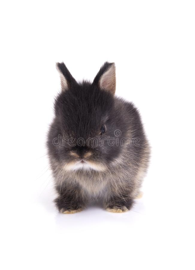 Young netherland dwarf rabbit sitting on floor in white background. royalty free stock photos