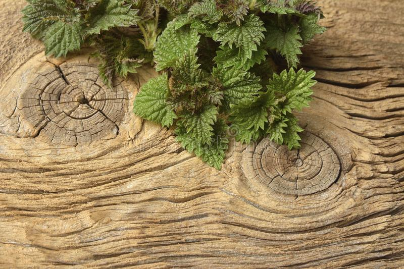 Young nettle leaves on a rustic background royalty free stock image