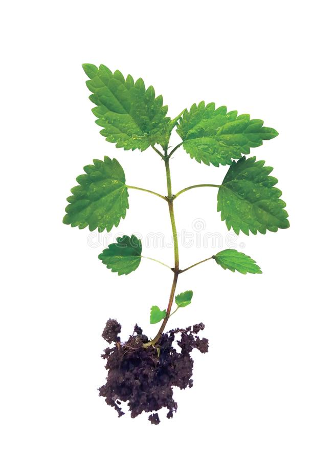 Young nettle sprout plant with roots in the ground on a white background, with clipping path, top view. Cosmetic and therapeutic. Recipe, tea, infusion stock photos